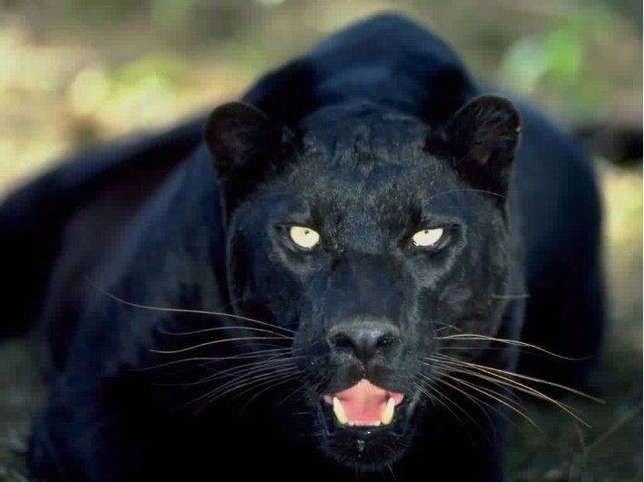 Panthers And 5 Other Real Animals That Don T Exist